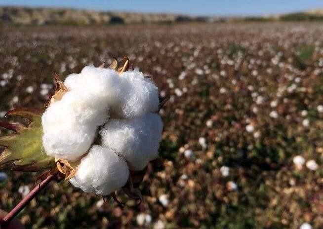 央视报道:无棣9.8万亩棉花喜获丰收